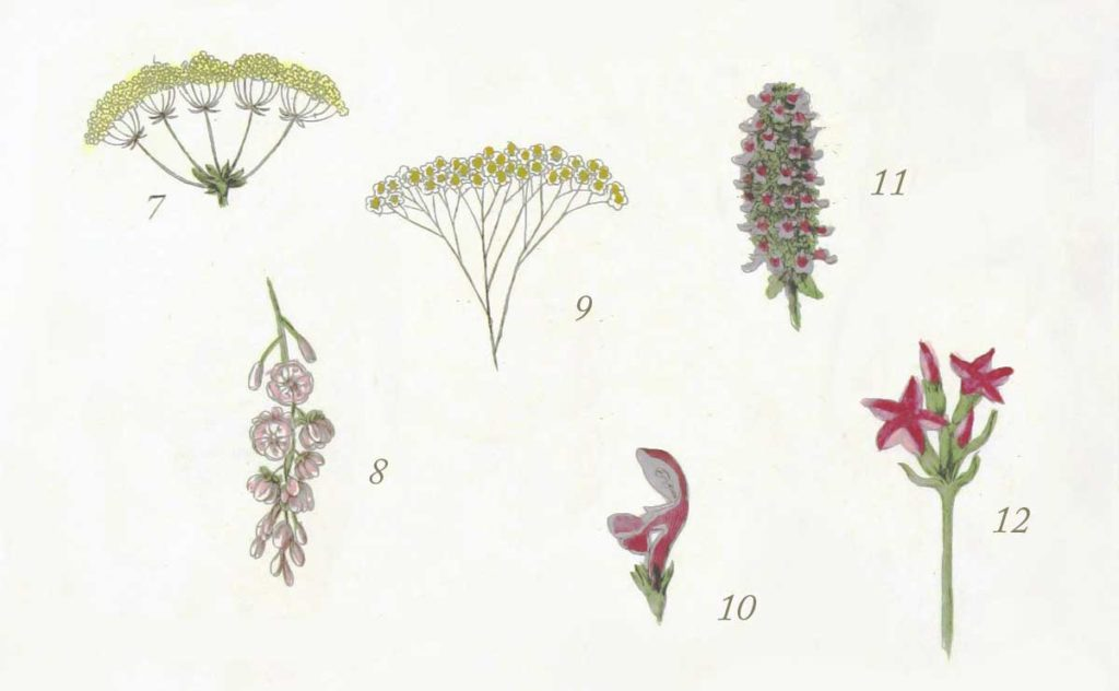Dibujos de plantas para estudios de fitoterapia
