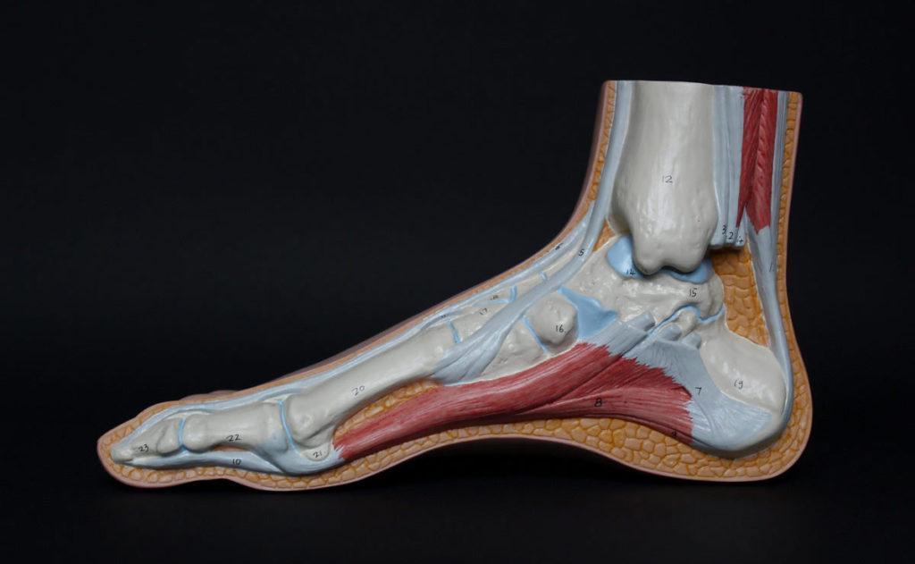 Modelo anatómico de pie humano.